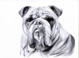 Black and white drawing of a bulldog.